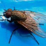 Как быстро избавиться от комнатных мух в доме
